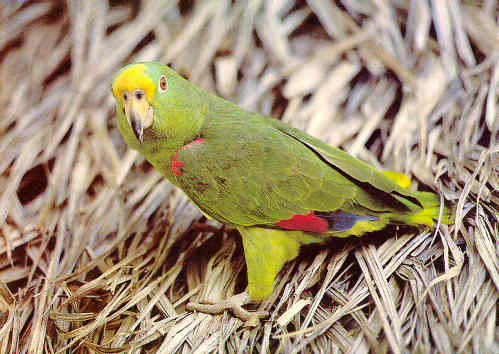 "Yellow head parrot...""My Name is Panama"""
